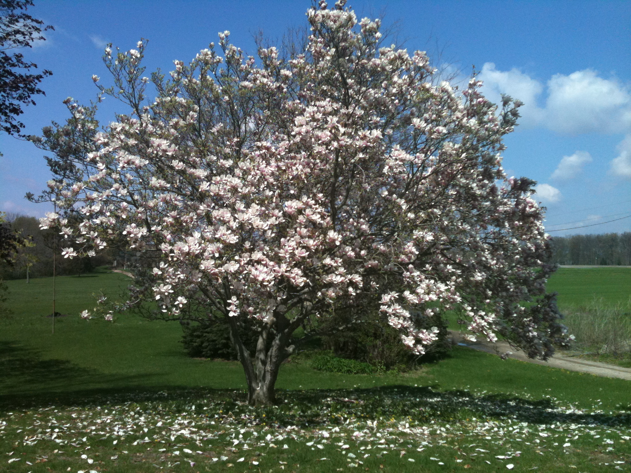 Napowrimo Day 22 Magnolia Tree The Worlds Of Nathan Marchand